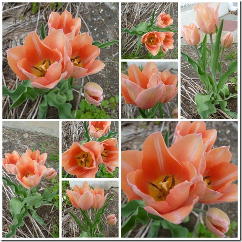 Tulips Before Bunnies