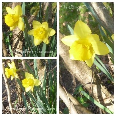 Daffodils are out