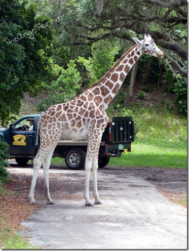Giraffe blocking road