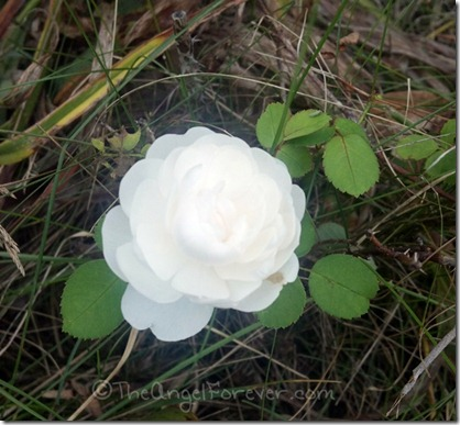 Lone White Rose
