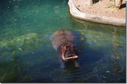 Hungry Hippo on African Trek
