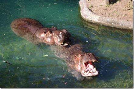 Two boy hippos on African Trek