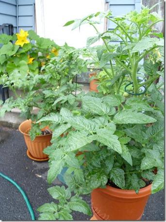 Tomato plants - June 24, 2011