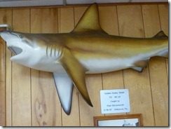 Golden Dusky Shark