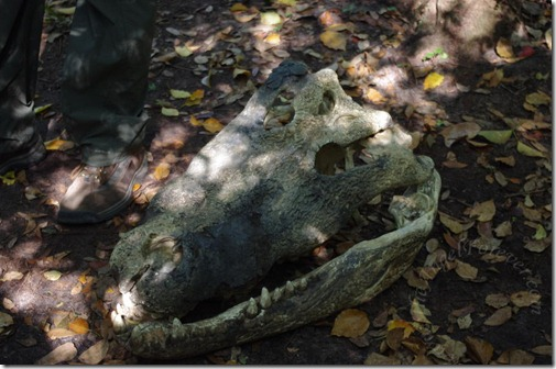 Crocodile skull waiting