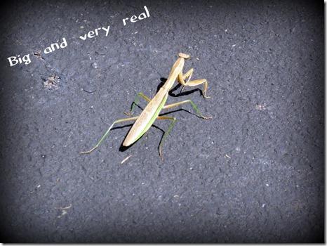 Real Praying Mantis