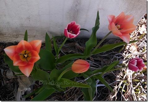 Tulips emerge