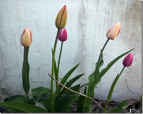Tulips in the morning